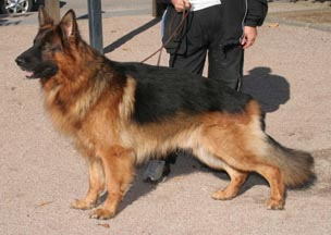 chien berger allemand poil long